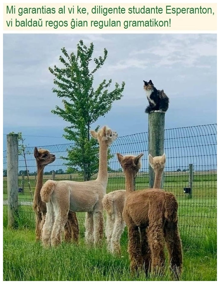 cat telling llamas to study from on top of a fence post
